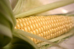Free Stock Photo: An ear of corn with husk
