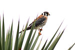 Free Stock Photo: An American Kestrel perched on a plant