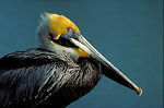 Free Stock Photo: Close-up of a brown pelican