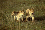 Free Stock Photo: An African lion with cubs walking in the grass