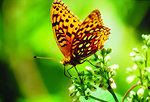 Free Stock Photo: Aphrodite Fritillary butterfly on Milkweed