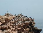 Free Stock Photo: Atlantic Puffins and Razorbills standing on rocks