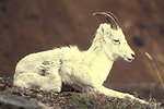 Free Stock Photo: Dall sheep ewe and lamb lying down