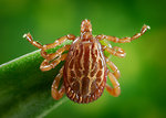 Free Stock Photo: A male Amblyomma tick on a blade of grass