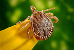 Free Stock Photo: Close-up of a tick
