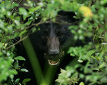 Free Stock Photo: A black bear in the bushes