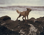 Free Stock Photo: An arctic fox on rocks