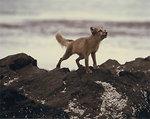 Free Stock Photo: An arctic fox on rocks