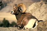 Free Stock Photo: A bighorn ram resting by some rocks