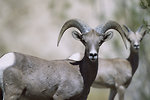 Free Stock Photo: Two bighorn sheep