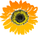 Free Stock Photo: Illustration of a sunflower