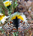 Free Stock Photo: A bay checkerspot butterfly