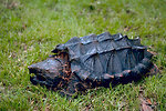 Free Stock Photo: An alligator snapping turtle in the grass