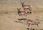 Free Stock Photo: Antelope on a wildlife range in Arizona