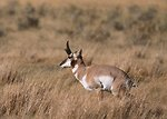 Free Stock Photo: An antelope in a field