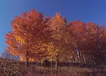 Free Stock Photo: Sugar maple trees with fall foliage