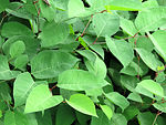 Free Stock Photo: Close-up of green leaves
