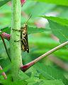 Free Stock Photo: Close-up of a grasshopper