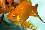 Free Stock Photo: Close-up of a goldfish