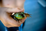 Free Stock Photo: Hand holding a frog
