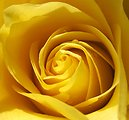 Free Stock Photo: Yellow rose close-up
