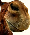Free Stock Photo: Close-up of a mule nose