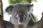 Free Stock Photo: Koala bear