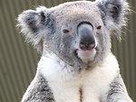 Free Stock Photo: Koala bear