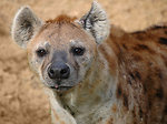 Free Stock Photo: Hyena close-up