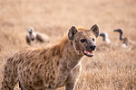 Free Stock Photo: A spotted hyena