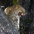 Free Stock Photo: Leopard in a tree