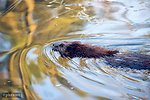 Free Stock Photo: A beaver swimming