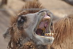 Free Stock Photo: Bactrian camel face