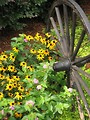 Free Stock Photo: Patch of yellow coneflowers by a steel wheel