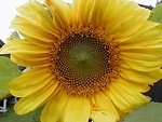 Free Stock Photo: Closeup of a yellow sunflower