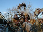 Free Stock Photo: Ice covered leaves on a tree