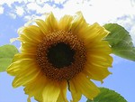 Free Stock Photo: Closeup of a yellow sunflower in a blue sky
