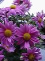 Free Stock Photo: Closeup of purple daisies