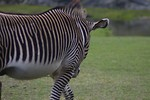 Free Stock Photo: Closeup of the side of zebra