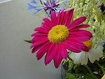 Free Stock Photo: Closeup of a purple daisy