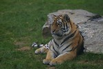 Free Stock Photo: Siberian tiger sitting by a rock