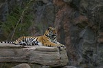 Free Stock Photo: Siberian tiger sitting on a rock.