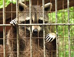 Free Stock Photo: Closeup of a raccoon behind a fence