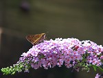 Free Stock Photo: A small brown butterfly on purple flowers