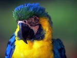Free Stock Photo: Close-up of a blue and yellow parrot