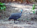 Free Stock Photo: A small guineafowl walking in the dirt