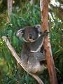 Free Stock Photo: A koala bear sitting in a tree