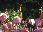 Free Stock Photo: A group of pink flamingos