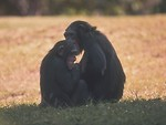 Free Stock Photo: A pair of chimpanzees sitting in the grass