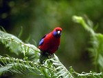 Free Stock Photo: A small red and blue parrot perched on a tree